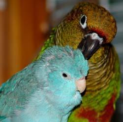 Perroquets en lien