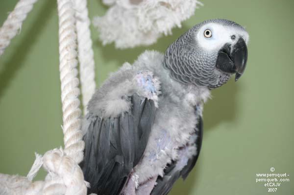 Reconna tre les besoins de son perroquet for Vers gris traitement