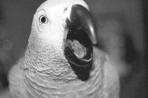 L'agresssion chez le perroquet