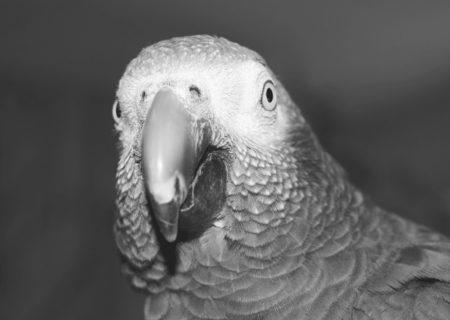gris Timneh normal
