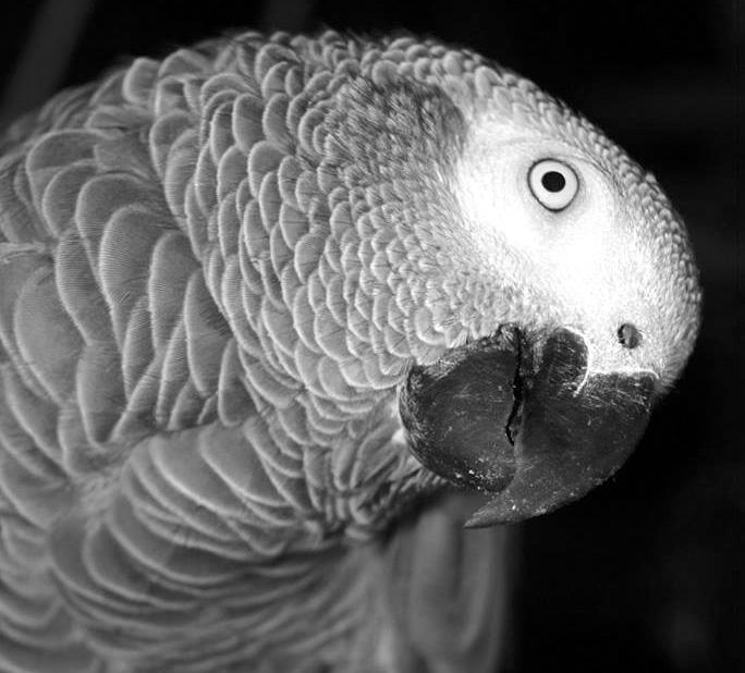L'intelligence du perroquet.